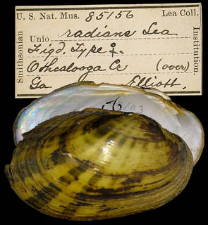 To NMNH Extant Collection (IZ MOL 85156 Unio radians)