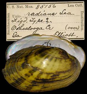 To NMNH Extant Collection (IZ MOL 85156 Unio radians)