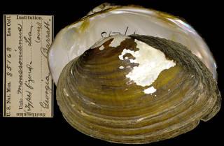 To NMNH Extant Collection (IZ MOL 85168 Unio moussonianus)
