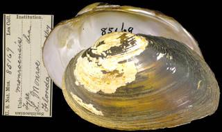 To NMNH Extant Collection (IZ MOL 85169 Unio monroensis)