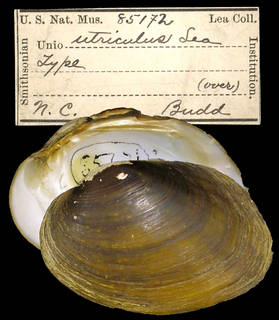 To NMNH Extant Collection (IZ MOL 85172 Unio utriculus)