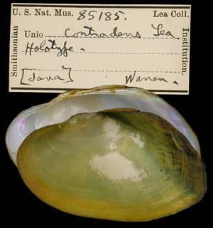 To NMNH Extant Collection (IZ MOL 85185 Unio contradens)