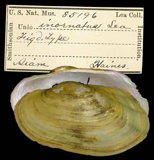 To NMNH Extant Collection (IZ MOL 85196 Unio inornatus)