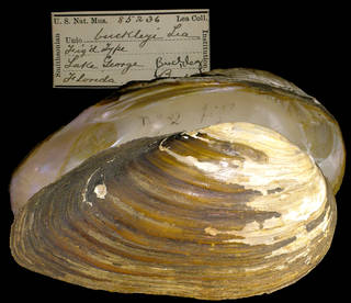 To NMNH Extant Collection (IZ MOL 85236 Unio buckleyi)
