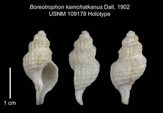 To NMNH Extant Collection (IZ 109178 Holotype Shell Plate)