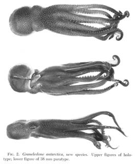 To NMNH Extant Collection (Fig.2. Graneledone antarctica)