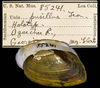 To NMNH Extant Collection (IZ MOL 85231 Unio pusillus)
