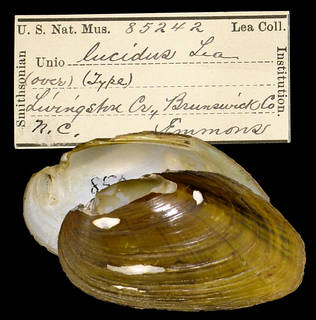 To NMNH Extant Collection (IZ MOL 85242 Unio lucidus)