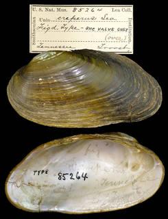 To NMNH Extant Collection (IZ MOL 85264 Unio creperus)