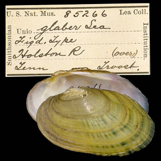 To NMNH Extant Collection (IZ MOL 85266 Unio glaber)