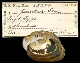 To NMNH Extant Collection (IZ MOL 85274 Unio paulus)