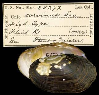 To NMNH Extant Collection (IZ MOL 85277 Unio corvinus)