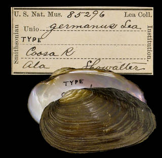 To NMNH Extant Collection (IZ MOL 85296 Unio germanus)