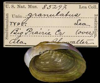 To NMNH Extant Collection (IZ MOL 85297 Unio granulatus)