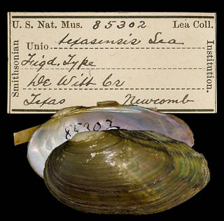 To NMNH Extant Collection (IZ MOL 85302 Unio texasensis)