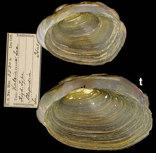 To NMNH Extant Collection (IZ MOL 85306 Unio haleianus)