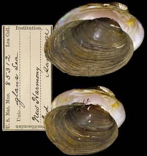 To NMNH Extant Collection (IZ MOL 85312 Unio glans)