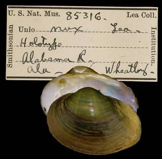 To NMNH Extant Collection (IZ MOL Unio nux Holotype)