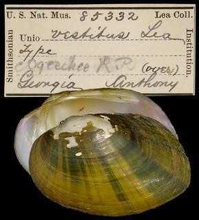 To NMNH Extant Collection (IZ MOL 85332 Unio vestitus Holotype)