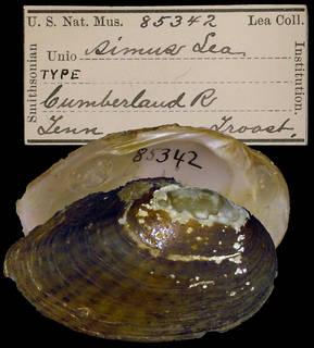 To NMNH Extant Collection (IZ MOL 85342 Unio simus)