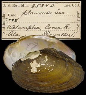 To NMNH Extant Collection (IZ MOL 85345 Unio plancus)