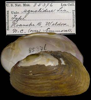To NMNH Extant Collection (IZ MOL 85376 Unio squalidus)