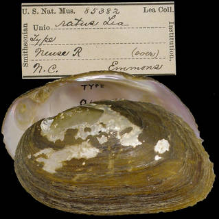To NMNH Extant Collection (IZ MOL 85382 Unio ratus)