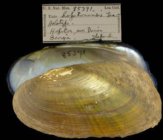 To NMNH Extant Collection (IZ MOL 85391 Unio hopetonensis)