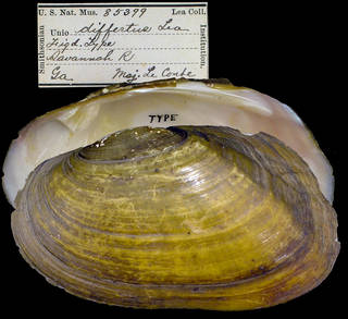 To NMNH Extant Collection (IZ MOL 85399 Unio differtus)