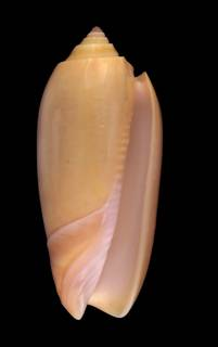 To NMNH Extant Collection (IZ1115509 Shell image)