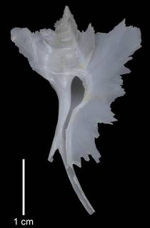 To NMNH Extant Collection (IZMOL652787 Paratype shell)