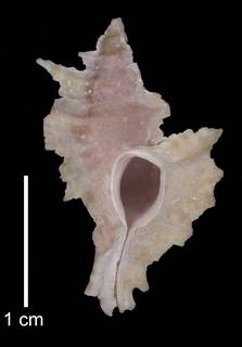 To NMNH Extant Collection (IZ MOL 783318 Paratype shell)