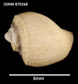 To NMNH Extant Collection (Admete carinata, dorsal)