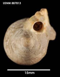 To NMNH Extant Collection (Alcithoe (Leporemax) fusus, apical)