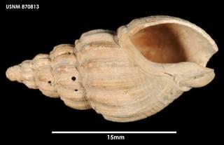 To NMNH Extant Collection (Cominella (Eucominia) marlboroughensis, ventral)
