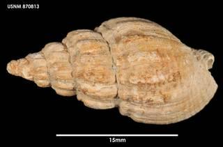 To NMNH Extant Collection (Cominella (Eucominia) marlboroughensis, dorsal)