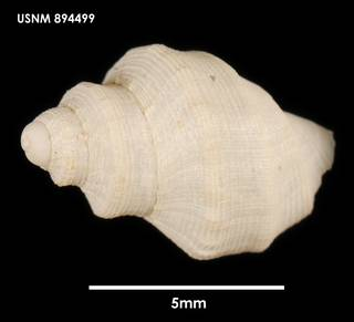 To NMNH Extant Collection (Falsitromina tricarinata, dorsal)
