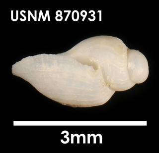 To NMNH Extant Collection (Lorabela davisi, lateral)