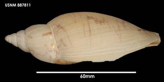 To NMNH Extant Collection (Odontocymbiola magellanica, lateral)