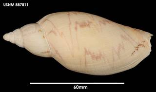 To NMNH Extant Collection (Odontocymbiola magellanica (2) 887811)