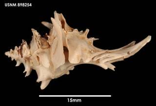 To NMNH Extant Collection (Poirieria zelandica (1) 898254)