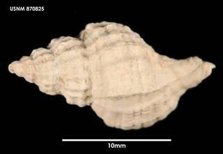 To NMNH Extant Collection (Xymene pumilus, dorsal)