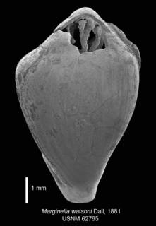 To NMNH Extant Collection (IZ MOL 62765 Syntype Shell 1 dorsal view)