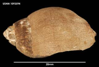 To NMNH Extant Collection (Chlanidota densesculpta, lateral)