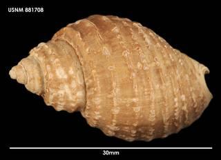 To NMNH Extant Collection (Chlanidota paucispiralis, dorsal)
