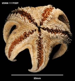 To NMNH Extant Collection (Mimastrella cognata (1) 1119359)