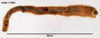 To NMNH Extant Collection (Trypanosyllis gigantern, dorsal)