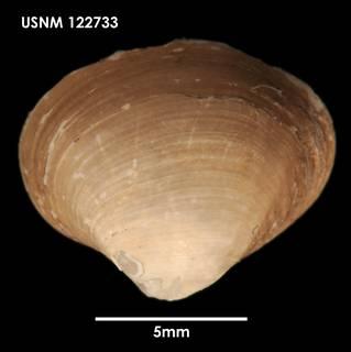 To NMNH Extant Collection (Poromya (Dermatomya) mactroides, dorsal)