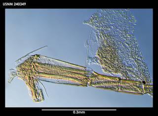 To NMNH Extant Collection (Macromckenziea glacierae, photo 1)