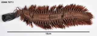To NMNH Extant Collection (Austrolaenilla hastulifera, dorsal)